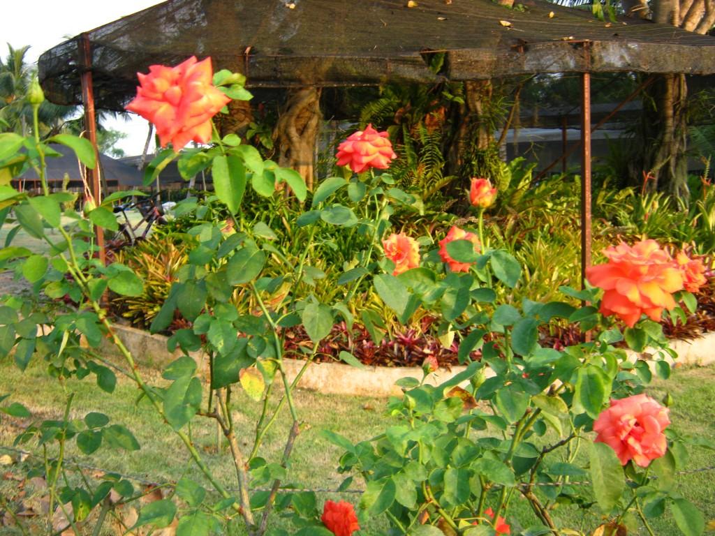 укрытие роз