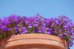 Однолетние цветы для клумб. Краски сада.