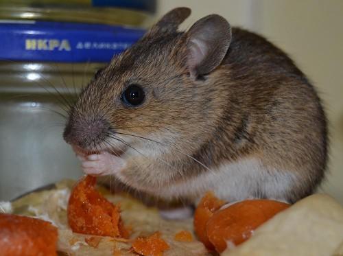 Мыши на даче (3)
