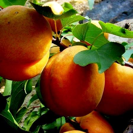 Посадка абрикоса - уход за деревом (4)