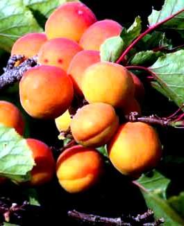 Посадка абрикоса - уход за деревом (5)