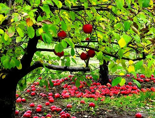 Яблоня уход - выращивание яблони (1)