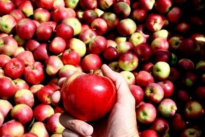 Яблоня уход - выращивание яблони (3)