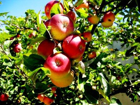 Яблоня уход - выращивание яблони (5)