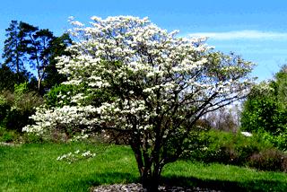 Кизил - плодовый кустарник (1)