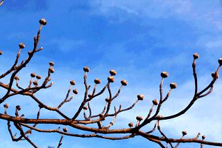 Кизил - плодовый кустарник (4)