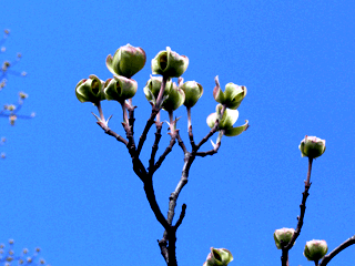 Кизил - плодовый кустарник (5)