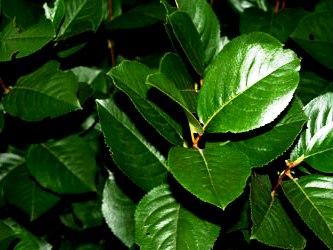Черноплодная рябина   (6)
