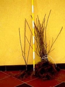 Черноплодная рябина   (7)