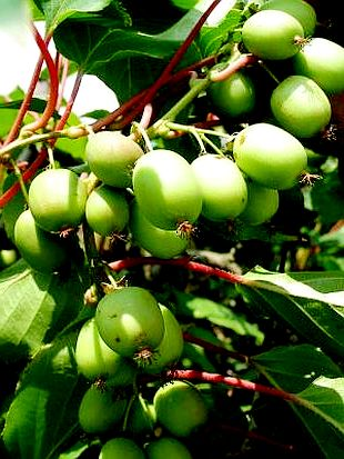 Выращивание киви - актинидия уход (1)