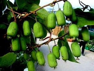 Выращивание киви - актинидия уход (2)
