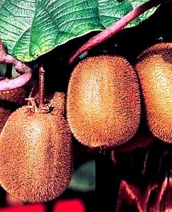 Выращивание киви - актинидия уход (4)