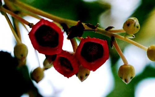 Выращивание киви - актинидия уход (6)
