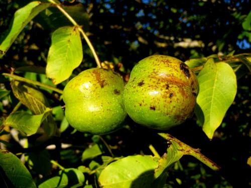 Как вырастить (прорастить) грецкий орех из ореха (плода) 81