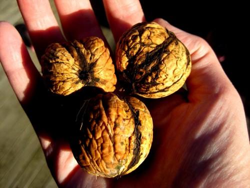 Грецкий орех - посадка (3)