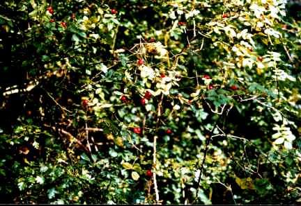 Розы посадка и уход - шиповник (1)