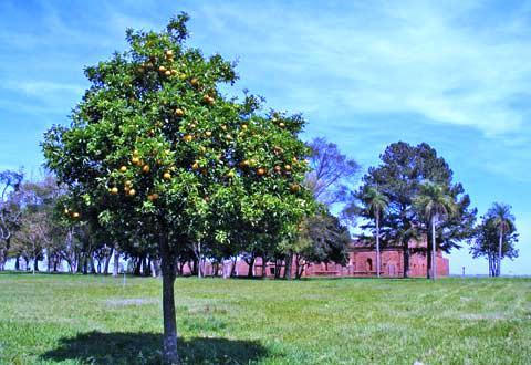 Дерево лимона дома - выращивание лимонов (3)