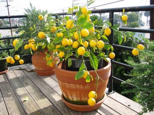 Дерево лимона дома - выращивание лимонов (6)