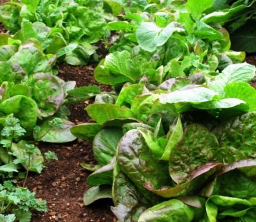 Овощи на даче - огород на даче (4)