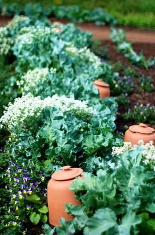 Овощи на даче - огород на даче (8)
