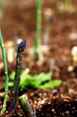 Овощи на даче - огород на даче (9)