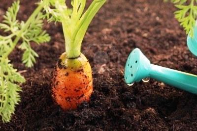 Уход за морковью92