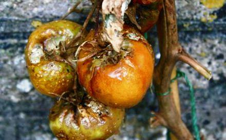 Болезни томатов и борьба с ними - болезни помидоров фото (3)