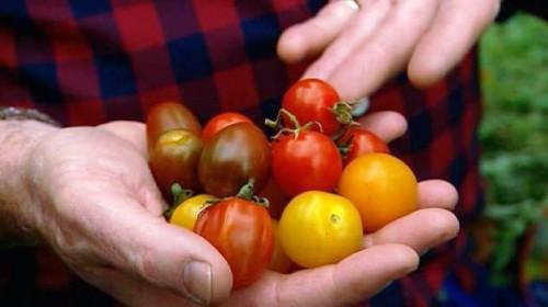 Как вырастить помидоры - польза помидор (2)