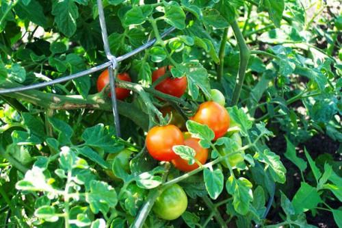 Как вырастить помидоры - польза помидор (8)