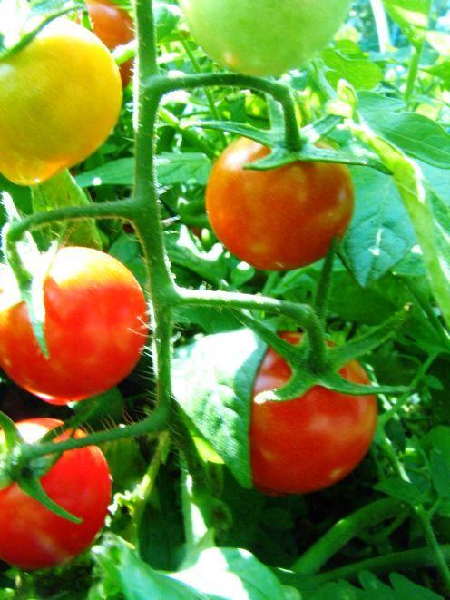 Как вырастить помидоры - польза помидор (10)