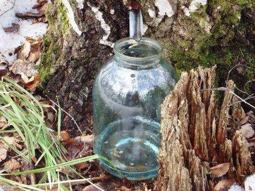 Сбор березового сока - сок березы (3)