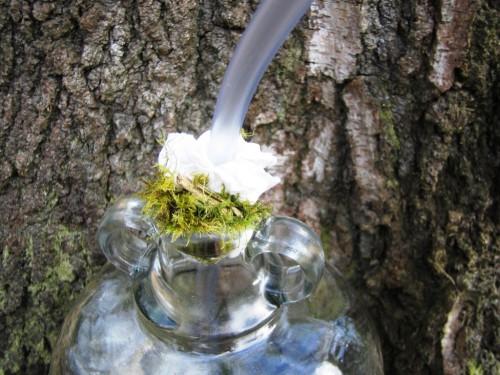 Сбор березового сока - сок березы (6)