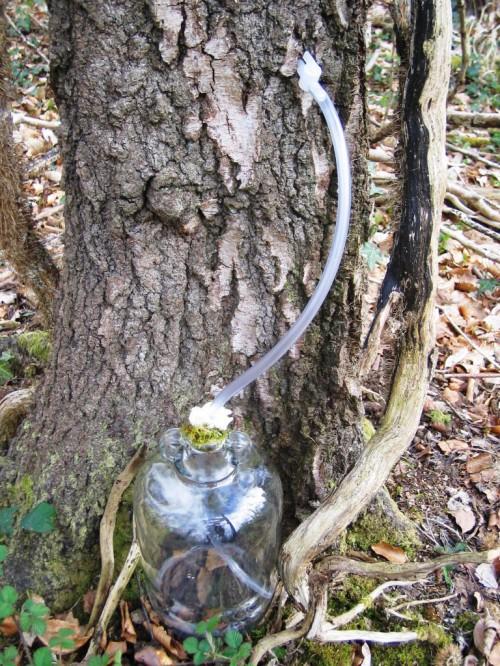 Сбор березового сока - сок березы (8)
