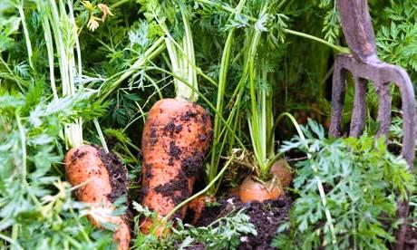 Уборка моркови - хранение моркови (7)