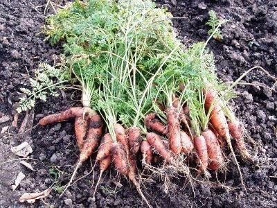 Уборка моркови - хранение моркови (8)