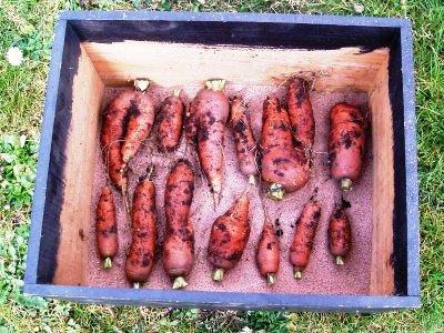 Уборка моркови - хранение моркови (9)