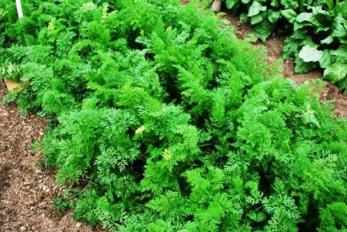 Чем полезна морковь- лучшие сорта моркови - выращивание моркови (8)