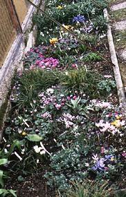 Альпинарий фото - растения для альпинария (26)