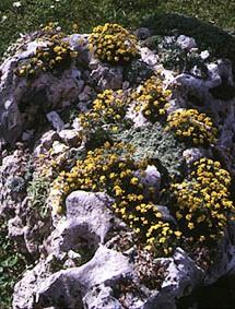 Альпинарий фото - растения для альпинария (28)