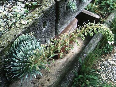 Альпинарий фото - растения для альпинария (30)