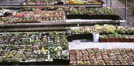 Альпинарий фото - растения для альпинария (33)