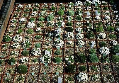 Альпинарий фото - растения для альпинария (35)