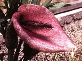 Альпинарий фото - растения для альпинария (37)