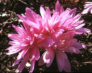 Альпинарий фото - растения для альпинария (38)