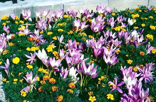 Альпинарий фото - растения для альпинария (50)