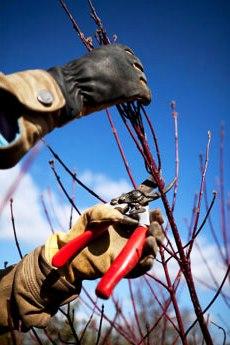 Как правильно обрезать деревья - обрезание плодовых деревьев (1)