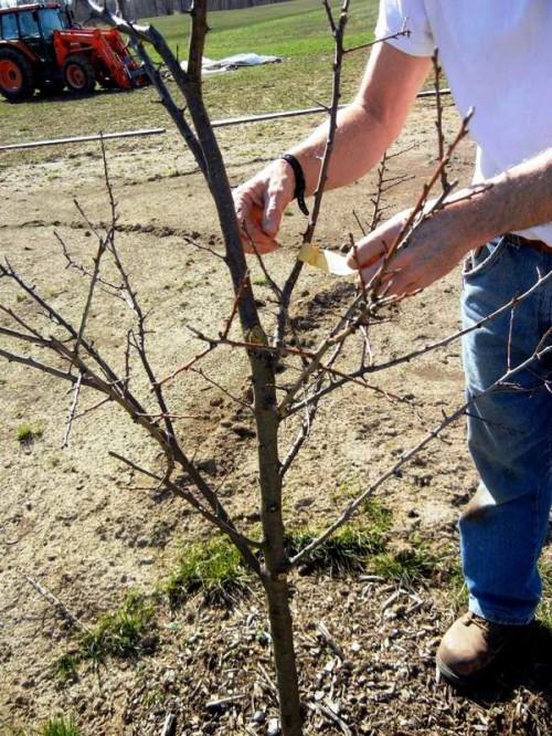 Как правильно обрезать деревья - обрезание плодовых деревьев (5)