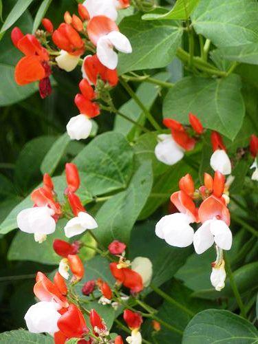 Садовые вьющиеся цветы — растение