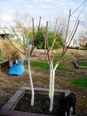 Чем белят деревья - побелка для деревьев (9)