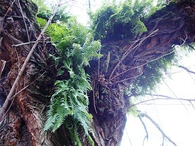 Болезни плодовых деревьев - борьба с мхом (8)